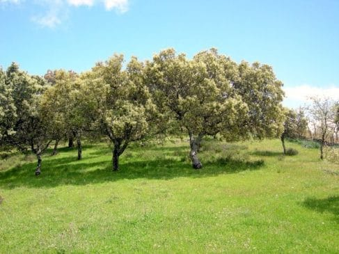 Parcela con encinas en Extremadura