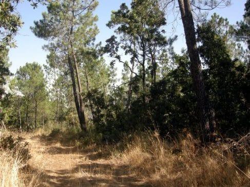 Terreno con pinos en la Sierra de Tentudía