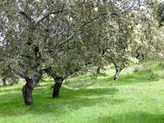Parcela de encinas Sur de Badajoz