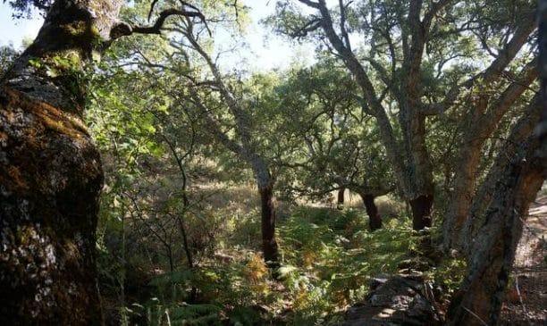 Alcornoques en la Sierra de Aracena