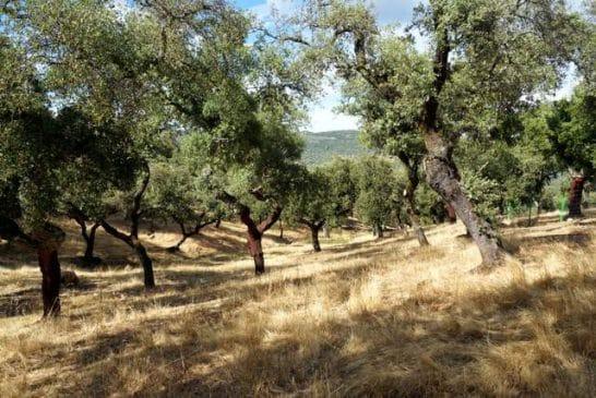 Terreno de encinas en la Sierra de Aracena