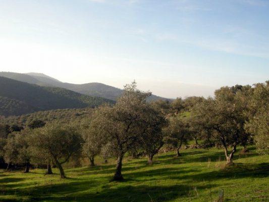 Parcela de olivos en Tentudía