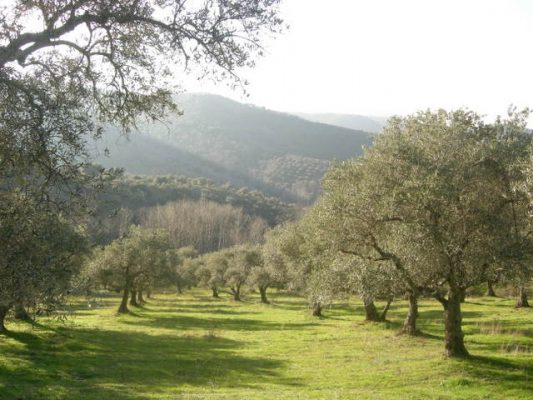 Parcela rústica de olivos