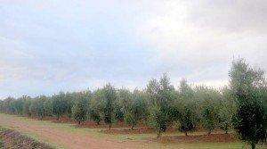 Venta de olivar superintensivo en Tierra de Barros