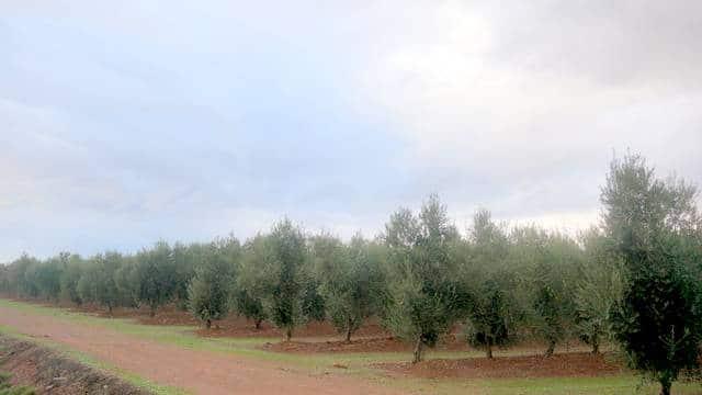 Venta de olivar superintensivo de 18 ha en Tierra de Barros
