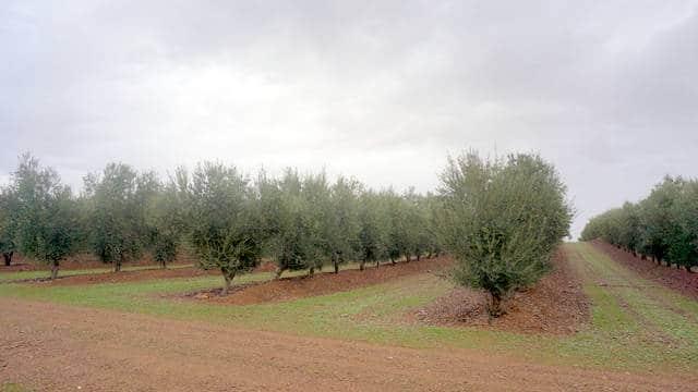 olivar-superintensivo