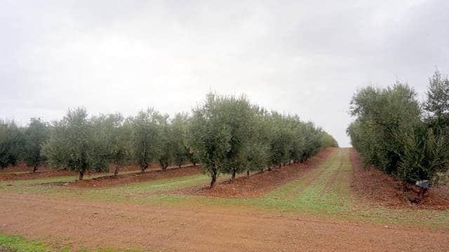 olivos-tierra-baros