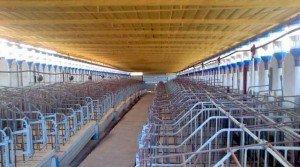 Explotación de cerdos ibéricos en Badajoz
