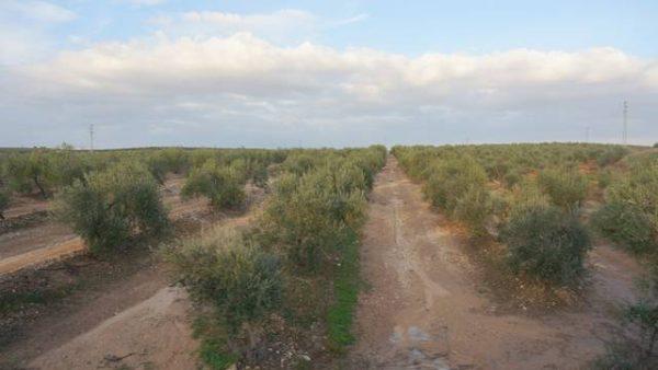 Olivos de la variedad manzanilla