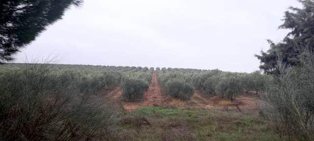 Olivar moderno en Extremadura