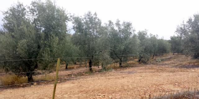 Olivos picual