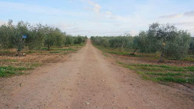 Olivar de riego en Badajoz