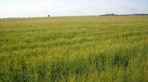 Finca agrícola para cereal en la campiña sur de Badajoz