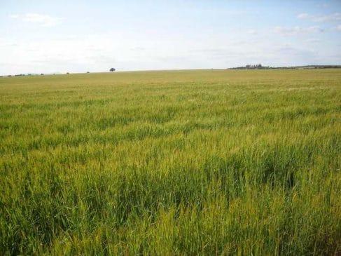 Finca agrícola de140 ha para cereal en la campiña sur de Badajoz