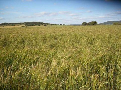 Finca de cereal en Extremadura