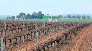Venta de viñedo en espaldera en Badajoz