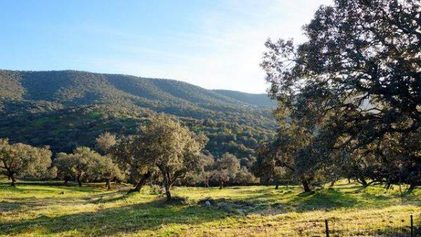 Dehesa de encinar en la Sierra de Huelva