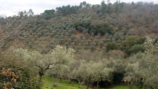 Finca en venta en la Sierra de Tentudía con olivos y castaños