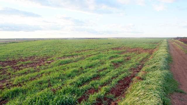Plantación de olivar intensivo en Extremadura