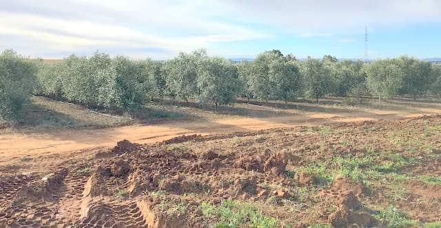 Finca de olivos en intensivo en Badajoz de la variedad arbequina