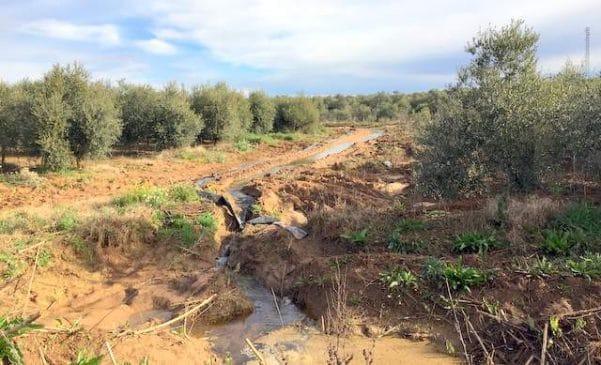 Cómo plantar olivos en intensivo