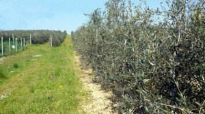 Finca de olivos superintensivos en Portugal
