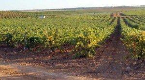 Finca rústica de viña en espaldera en Badajoz
