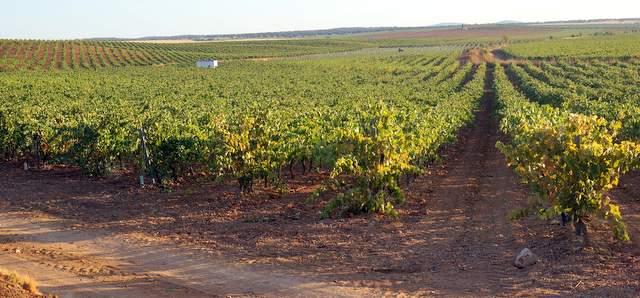 Finca de viña en espaldera en Extremadura