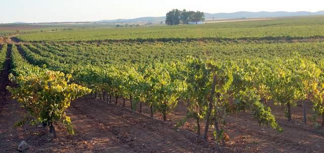 Vista general del viñedo
