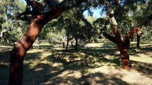 Dehesa de encinas y alcornoques en Cáceres