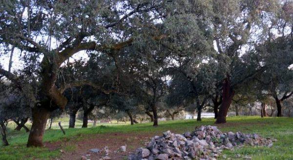 Alcornocal con ejemplares centenarios en la sierra de Aracena
