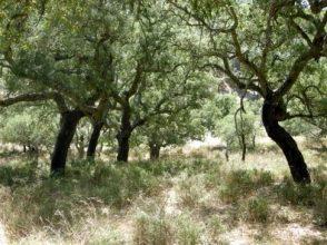 Alcornocal de gran densidad en Extremadura