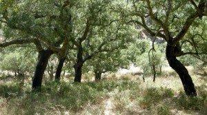 Alcornocal en la Sierra de San Pedro, Extremadura