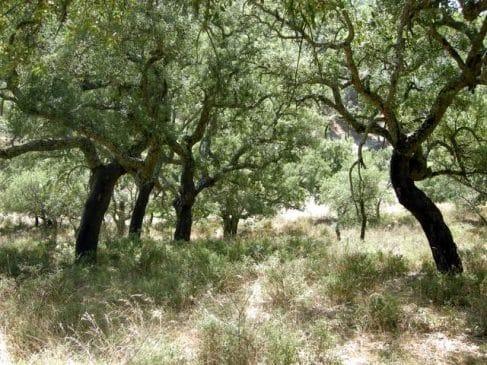 Alcornocal de 500 ha en la Sierra de San Pedro, Extremadura