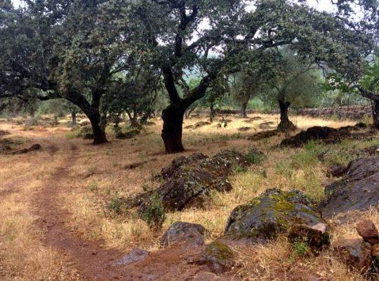 Alcornocal y olivar de la finca