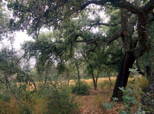 Parcela con alcornocal en la sierra de Aracena