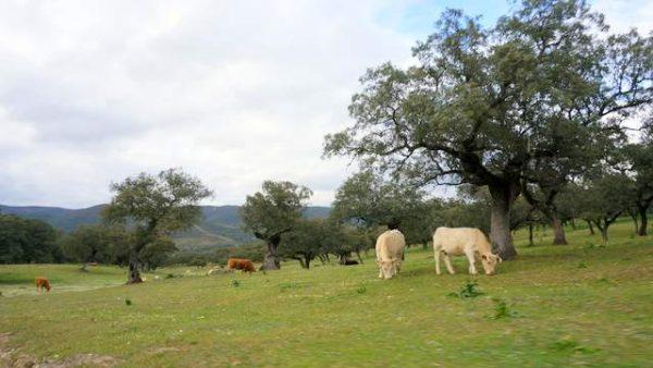 Finca ganadera con ganado vacuno en la sierra de Aracena