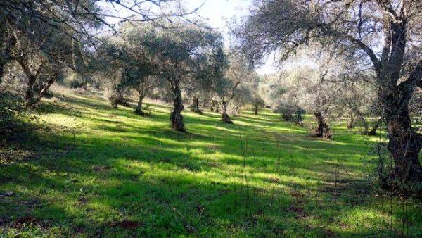 Parcela de olivos centenarios