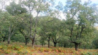 Alcornocal en la sierra de Tentudía, Extremadura