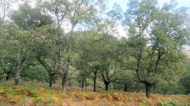 Alcornocal en Huelva, sierra de Aracena