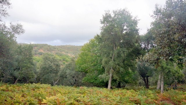 Dehesa de alcornoques en la sierra de Aracena