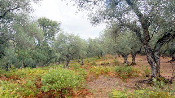Olivos ecológicos en la finca rústica