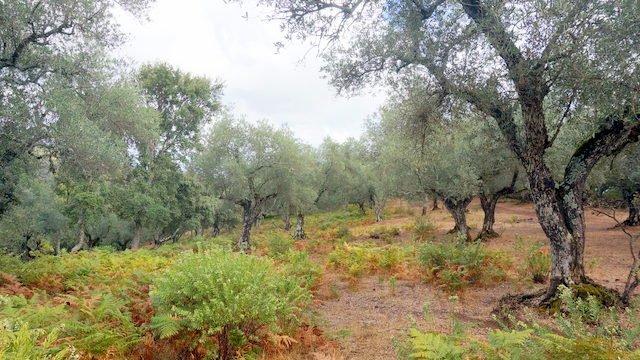 Fincas de olivos ecológicos en la sierra de Huelva
