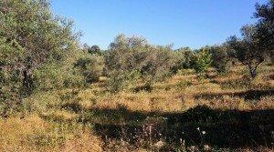 Olivos tradicionales de la finca rústica en la sierra de Tentudía, sur Extremadura