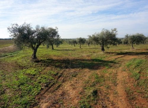 Terreno de olivos y tierra de labor