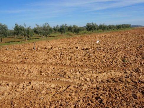 Finca de barchecho para olivos