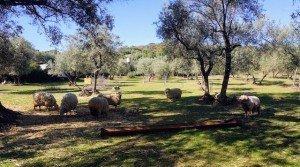 Olivar con ovejas pastando