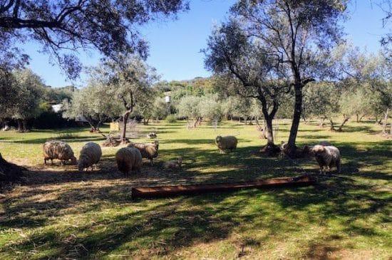 Finca de olivos con ovejas