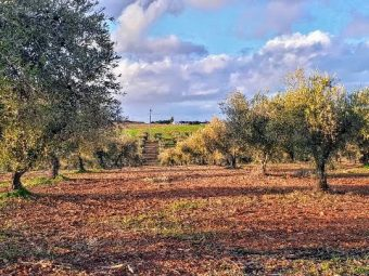 Vista de olivar con riego en Portugal