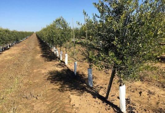 Olivar intensivo con agua de embalse en Portugal